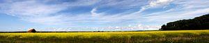 Koolzaadveld Texel van