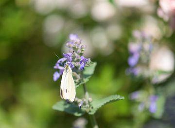 Schmetterling auf Katzenminze von Tania Perneel