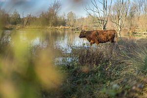 Schotse Hooglander in de Broekpolder in de Herfst