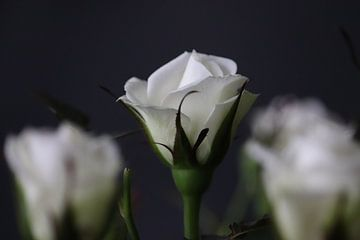 Kleine weiße Rose von Clicksby JB