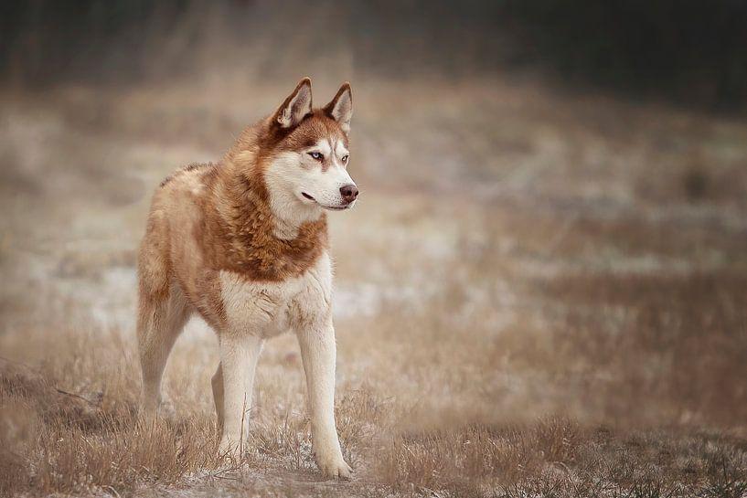 Sibirischer Husky von Petra Lakerveld