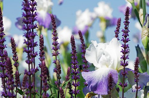 Zomer tuinen, lavendel en lelie geur