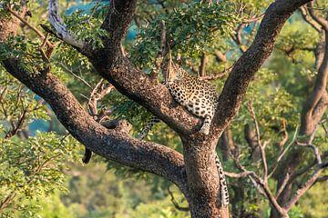 Luipaard bij zonsondergang van Trudy van der Werf