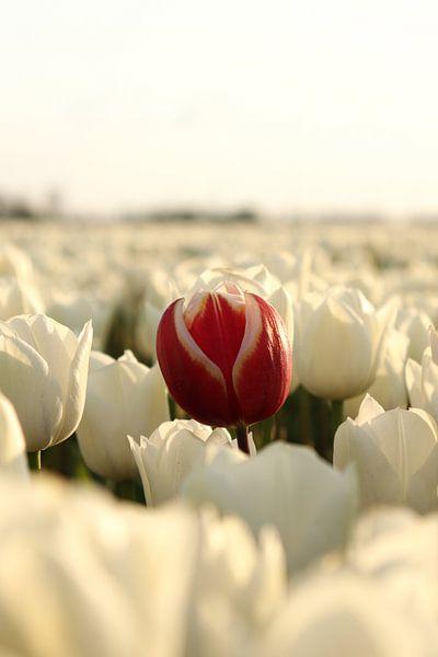 Die rote Tulpe von William Visser