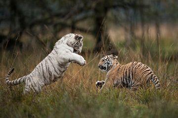 Koenigstiger ( Panthera tigris tigris), zwei Jungtiere in spielerischem Kampf von wunderbare Erde