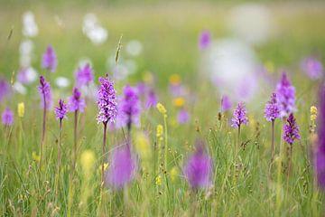 Prairie fleurie dans la tourbière surélevée sur Franziska Jungen