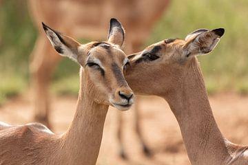 Baiser d'une antilope Impala sur Dennis Eckert