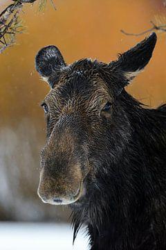 Eland ( Alces alces ), hoofdportret van een elandkoe in de winter bij regenachtig weer, wild, Yellow van wunderbare Erde
