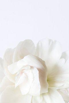Witte pioenroos van Marion Moerland