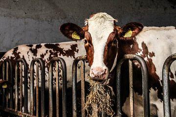 Kuh im Stall von anouk kemper