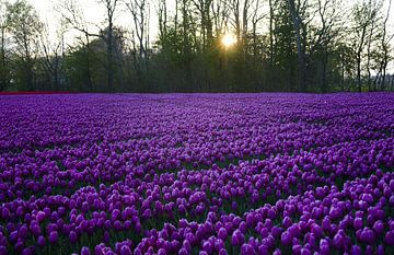 Violet tulips von Sonny Dimaculangan