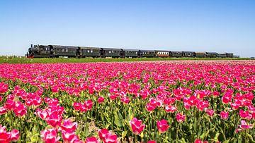 Die Dampfstraßenbahn von Hoorn nach Medemblik fährt an einem Tulpenfeld vorbei. von Dennis Dieleman