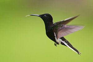 Rouwkolibri in vlucht, Brazilië