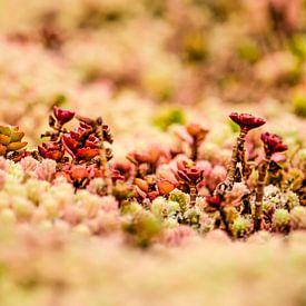 Rode vetplantjes op een groen dak van Frans Blok