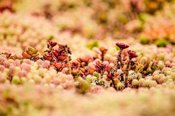Rode vetplantjes op een groen dak