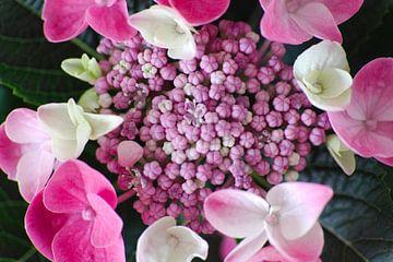 Hortensia in roze-witte tinten van Anne Ponsen