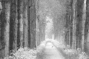 Laan bloeiend Fluitenkruid zwart-wit