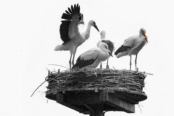 Kwartet ooievaars van Peter Bartelings Photography