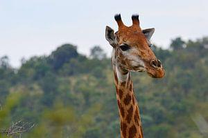 Giraffe in kleur van Dustin Musch