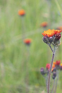 Fleur de montagne sur Nina Rotim