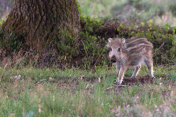 Klein wild everzwijntje  (Sus scrofa) Frisling van Eric Wander