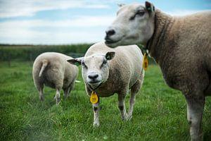 schapenkudde