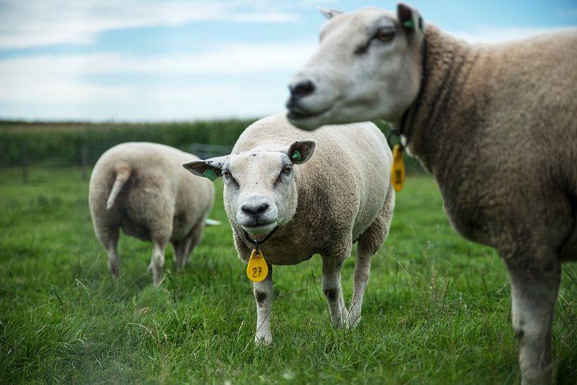 schapenkudde van Mariska Hofman