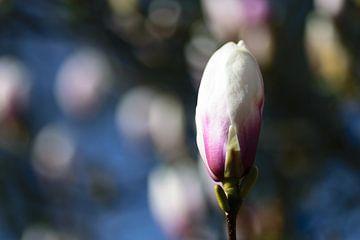 Magnolien von Eline Bouwman