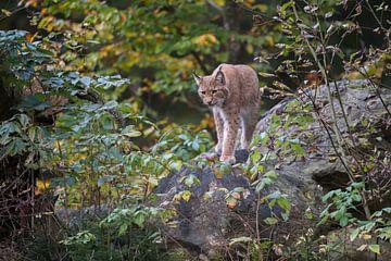 Luchs ( Lynx lynx ) jagt in der Dämmerung in herbstlicher Kulisse, Europa. von wunderbare Erde