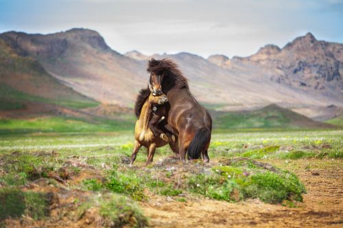 IJslandse paarden von Yvette Baur