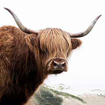 Schotse Hooglanders in de duinen van Affect Fotografie
