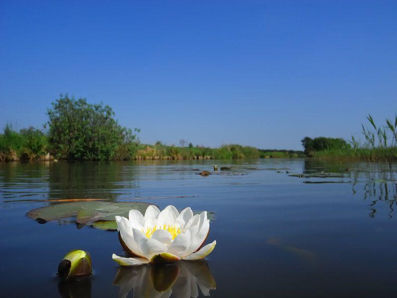 Fleur de lys dans le Wieden sur Sjoerd van der Wal