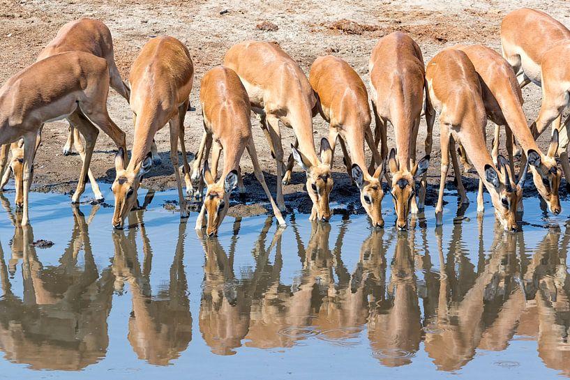 Impalas am Wasserloch von Angelika Stern