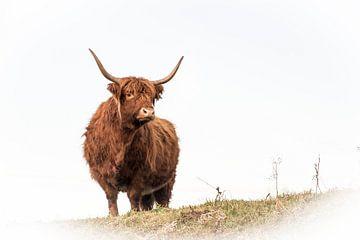 Schotse hooglander van Guido Rooseleer
