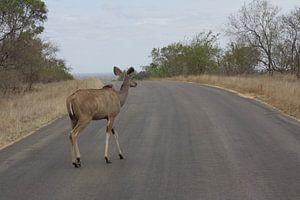 Koedoe Zuid-Afrika van