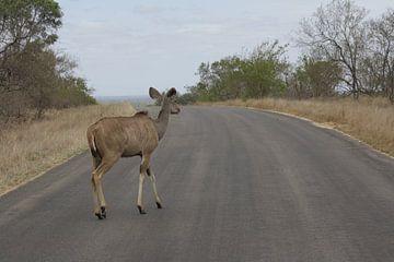 Koedoe Zuid-Afrika von Marjolein Martens