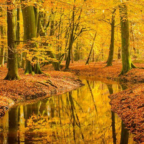 Stromende beek in een beukenbos in de herfst