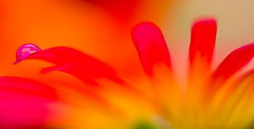 orange Sommerblume mit Trophen von Jessica Berendsen