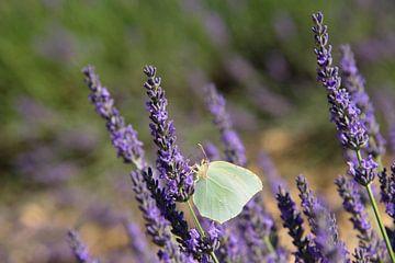 Witte vlinder op de lavendel van Barbara Brolsma
