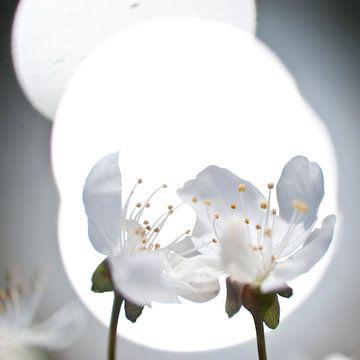 paar pruimenbloemen van George Burggraaff