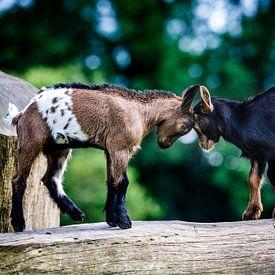 Pasgeboren geitjes geven elkaar een kopstoot. van Ramon Mosterd