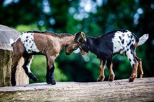 Pasgeboren geitjes geven elkaar een kopstoot. van