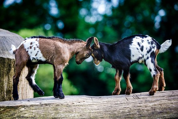 Pasgeboren geitjes geven elkaar een kopstoot.