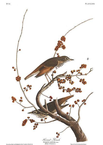 Heremietlijster van Birds of America
