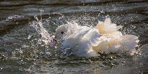 Spetteren witte eend