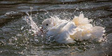 Vogels | Gespetter!  - boeren eend aan het wassen van Servan Ott