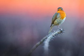 European Robin (Erithacus rubecula) von AGAMI Photo Agency