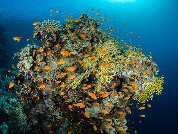 Vlaggenbaarsjes Rode Zee van René Weterings