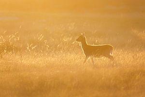 Damhert bij zonsondergang