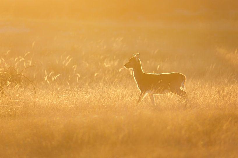 Damhert bij zonsondergang van Pim Leijen
